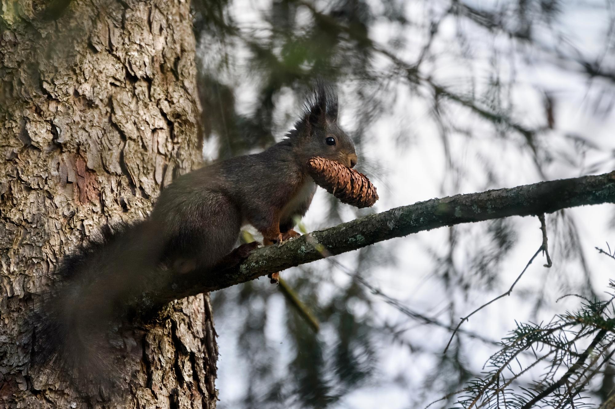 Melanistic Red Squirrel