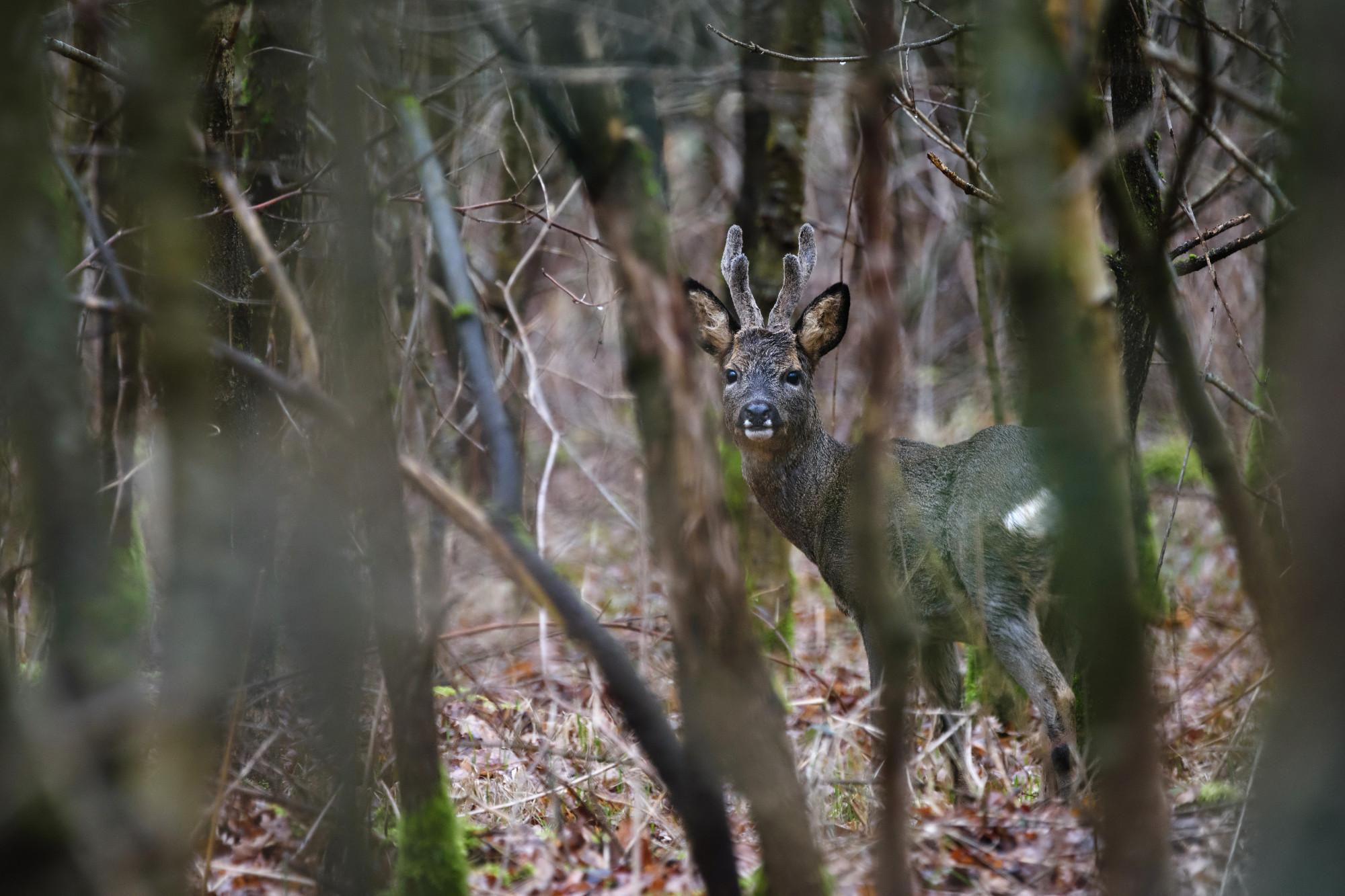 DeerBuckDeadTreesS