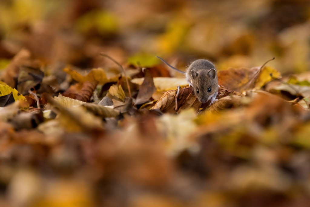 Young Wood Mouse