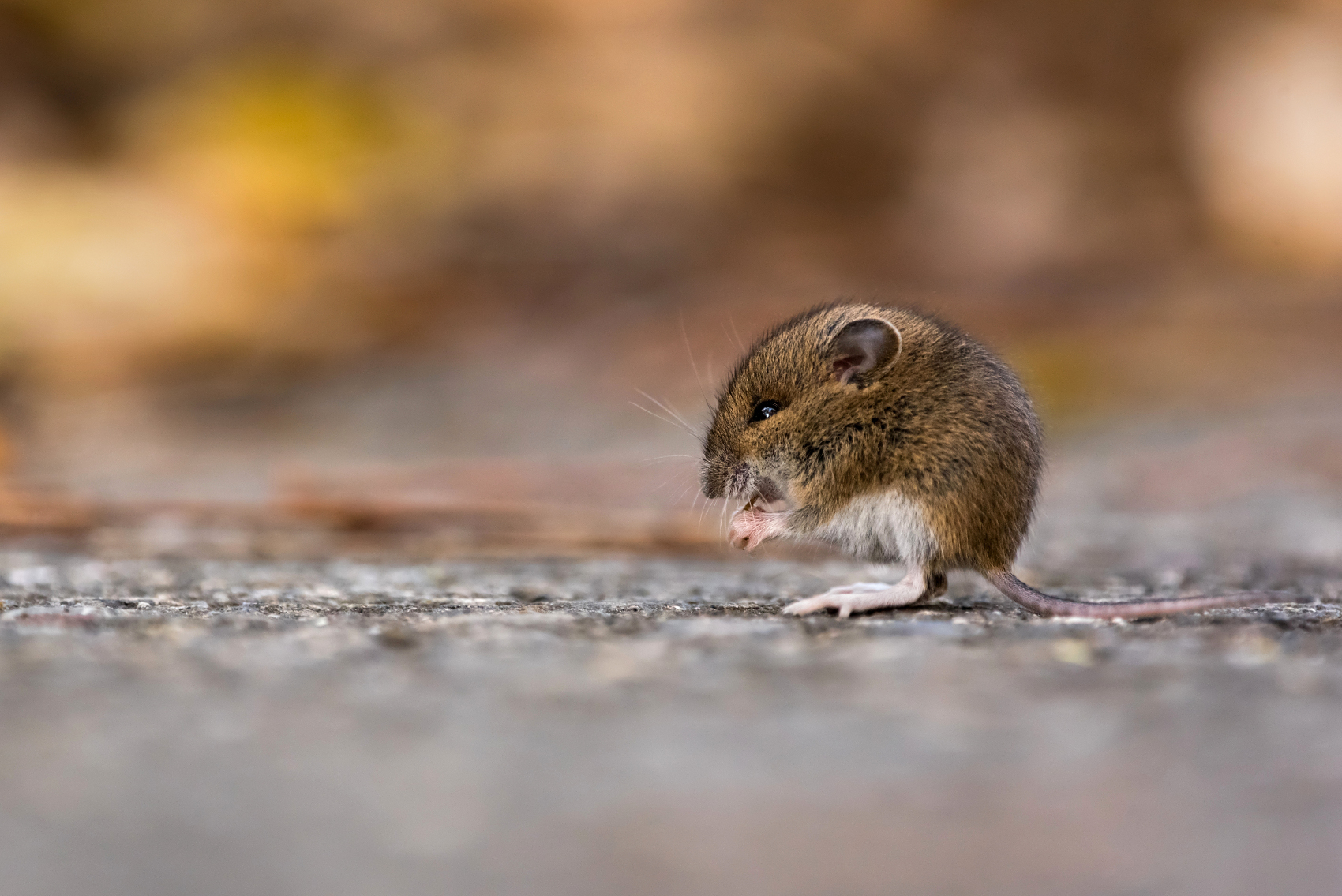 Juvenile Wood Mouse